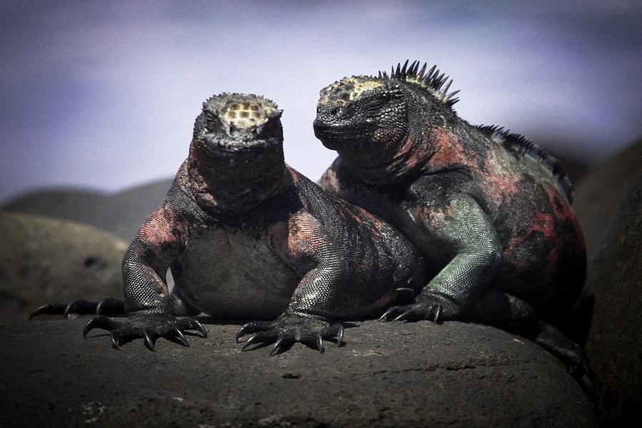 iguanas marinas de Galápagos